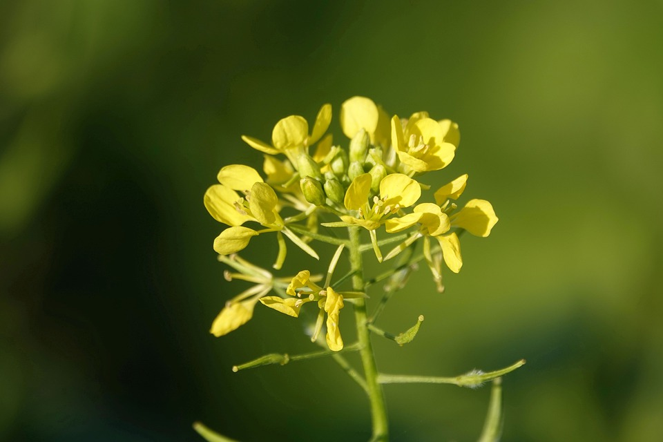 Yellow Mustard Plant in bloom.